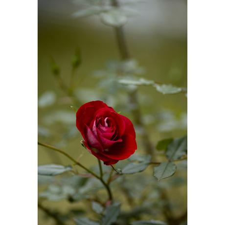 20080501_rose1_2