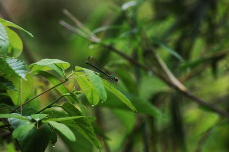 20080504_kurakubo_dragonfly