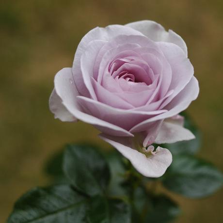 20080522_rose1