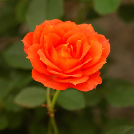 20080522_rose2