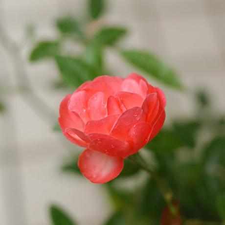 20080522_rose4