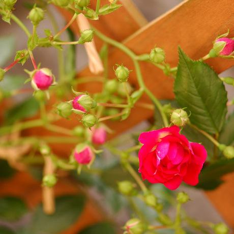 20080522_rose5