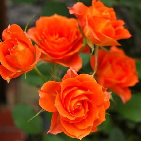 20080619_rose