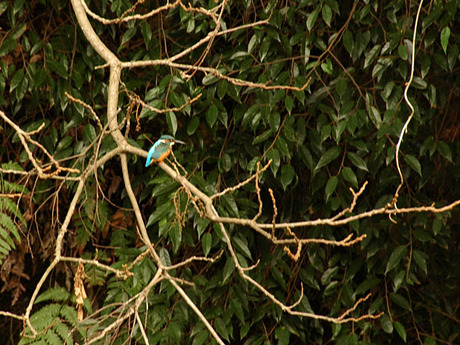 20081216_kingfisher