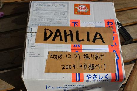 20081221_dahlia3