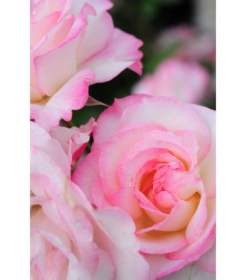 20090517_rose1
