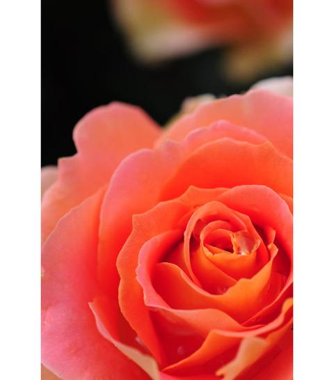 20090517_rose2