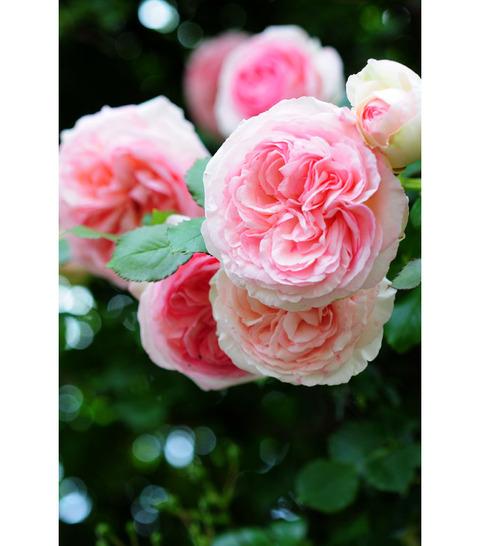 20090517_rose3
