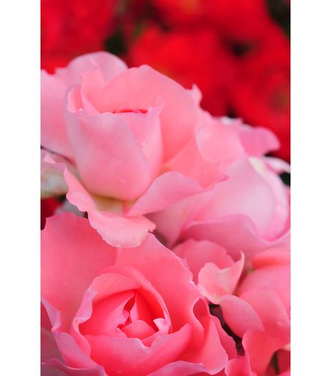 20090517_rose4