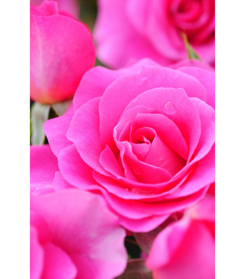 20090517_rose5