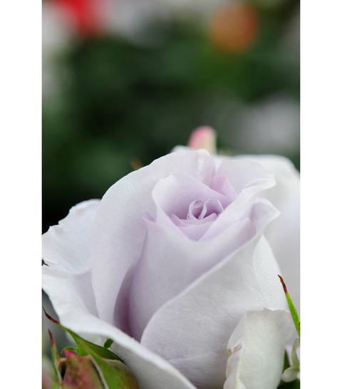 20090517_rose6