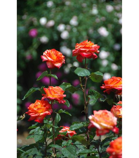 20090520_rose2