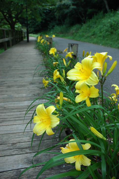 20090627_lily