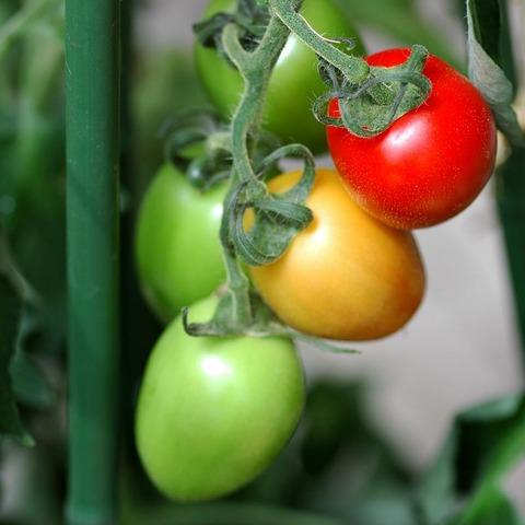 20090711_tomato