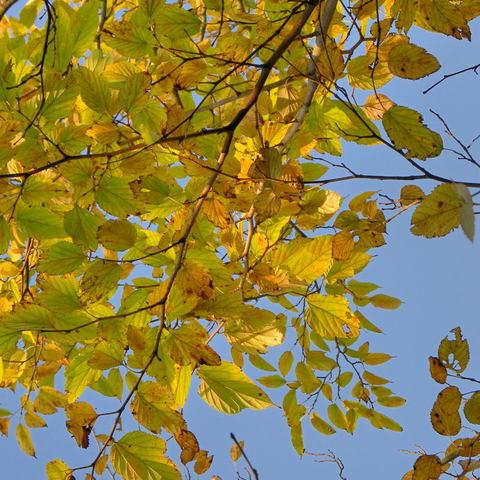 20091015_leaf