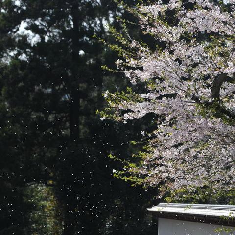 20100406_engakuji1
