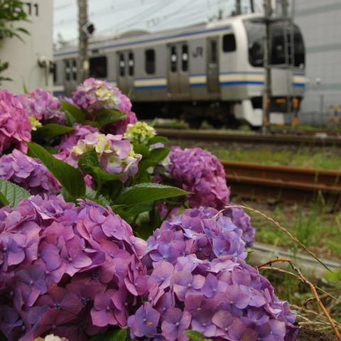 20100620_ajisai1