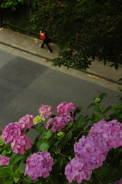 20100620_ajisai15
