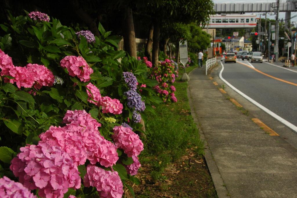 20100620_ajisai12